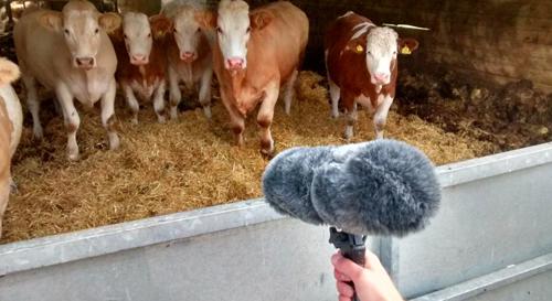 Recording Cows