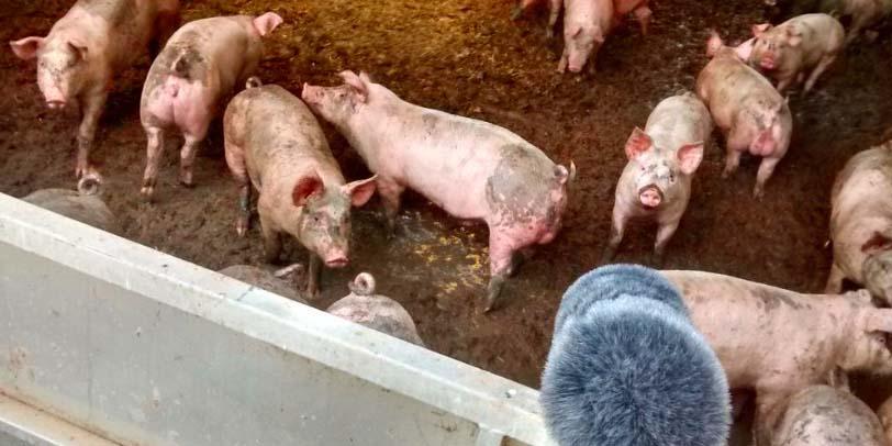 Recording Pigs